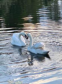 RGF Swans
